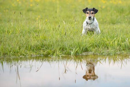 Dog sitting over dripping wet meadow. Small jack russell terrier seven years