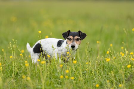 Cute small Jack Russell Terrier dog is standing concentrated in a meadow with flowers in spring and is looking into the kamera. Hair style broken.