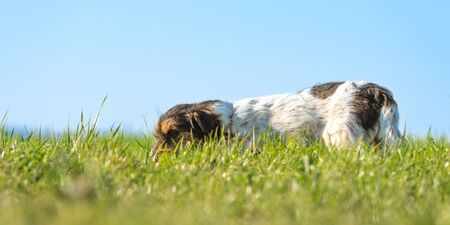 Cute little Jack Russell Terrier dog is tracking a trail and has his nose on the ground in the tall grass ind front of blue sky