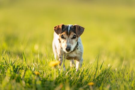 Portrait of a cute 12 years old Jack Russell Terrier dog outdoor in nature.  Reklamní fotografie