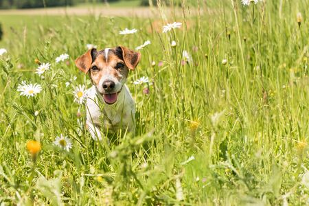 little dog sits in a blooming meadow in spring. Jack Russell Terrier 11 years old Reklamní fotografie