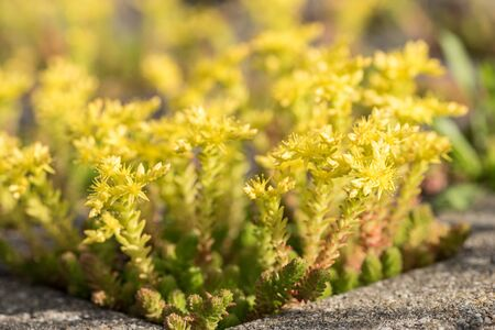Tiny yellow blooming stonecrop. Latin name Sedum Acre