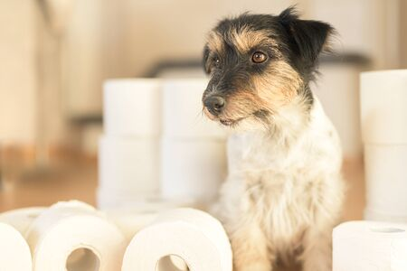 Cute little Jack Russell Terrier dog is busy with toilet paper. Reklamní fotografie