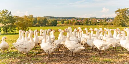 A lot of  white fattening geese on a meadow