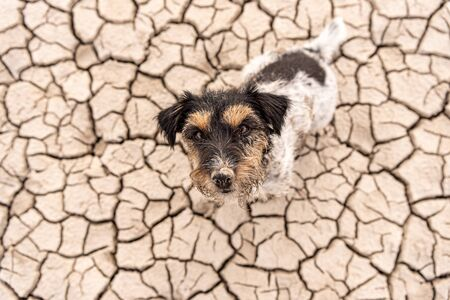 Small  cute dog are sitting in a dry sandy desert and looking up - dirty Jack Russell Terriers  Reklamní fotografie