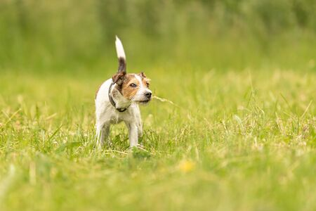 Lovely Parson Russell Terrier dog stands in a green meadow in front of green background an is looking Reklamní fotografie