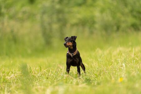 Lovely Manchester Terrier dog stands in a green meadow in front of green background an is looking in camera Reklamní fotografie