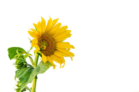 Beautiful yellow flowering sunflower isolated in front of white background.