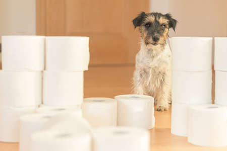 Cute little Jack Russell Terrier dog is busy with toilet paper. Standard-Bild