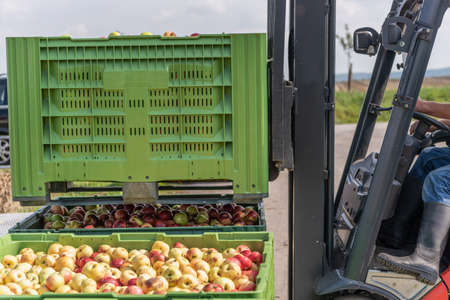 Forklift carries crates of fruit. Apples in container Standard-Bild