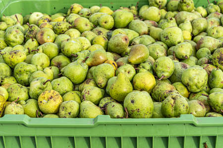Ripe fall pears in a container in autumn
