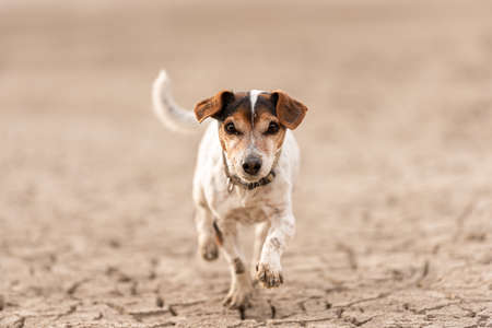cute dog running on dry sandy ground and have fun. Jack Russell Terriers 12 years young