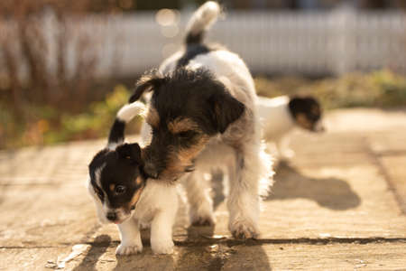 Young cute whelp 6 weeks old. Beautiful Jack Russell Terrier mom dog with puppy. Bitch educates pups. Standard-Bild