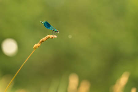 Tiny blue colorful protected dragonfly style sits on a blade of grass in front of blurred background. Latin name coenagrion mercuriale.