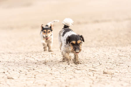 Cute small dogs are running over sandy ground and have fun. Two Jack Russell Terriers Standard-Bild