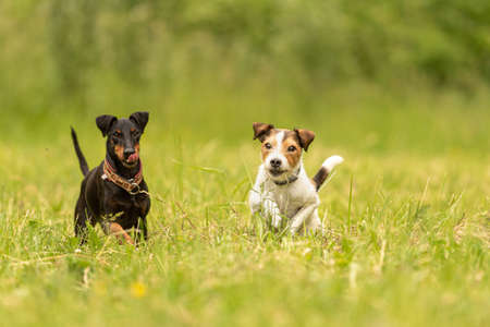 Parson Russell Terrier and black Manchester Terrier Dog. Two small beauty friendly dogs are running together over a green meadow