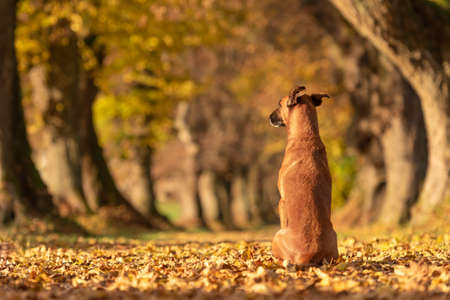 Brown dog is sitting in the autumn forest and shows his back. Malinois Rhodesian Ridgeback hybrid