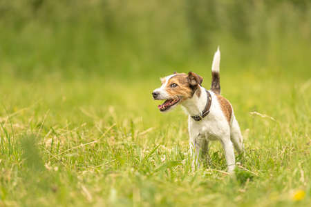 Lovely Parson Russell Terrier dog stands in a green meadow in front of green background an is looking Standard-Bild