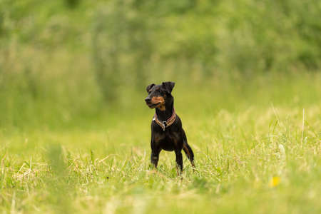 Lovely Manchester Terrier dog stands in a green meadow in front of green background an is looking in camera Standard-Bild