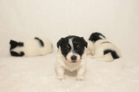 Pups 3.5 weeks old. Purebred newborn very tiny Jack Russell Terrier puppy dogs are playing with the siblings