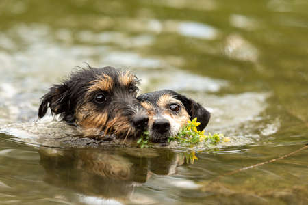 Two cute small Jack Russell Terrier dog friends are swims in water and retrieves a flower im mouth Standard-Bild