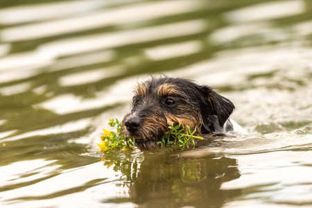 cute small Jack Russell Terrier dog swims in water and retrieves a flower in his mouth