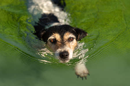 Dog 10 years old. Small cute Jack Russell Terrier swims in clear water.