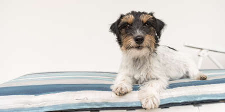 cute small Jack Russell terrier dog lying on a deck chair. There is a blue striped blanket on the white lounger. Standard-Bild