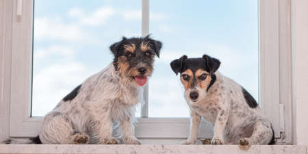 two cute small Jack Russell Terrier dogs sit on the windowsill in sunny weather and blue sky.