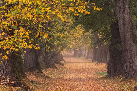 Beautiful lime tree alley in autumn in Germany Bavaria near Mindelheim