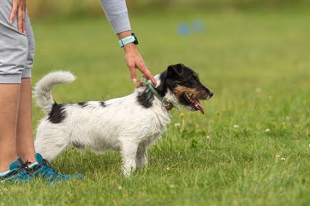Dog owner trains with his Jack Russell Terrier. Working together on the dog place.