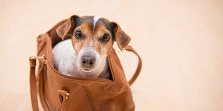 Small cute Jack Russell Terrier dog sits in a brown handbag and looks funny out.