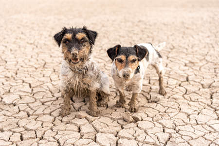 two cute dirty dogs Jack Russell Terrier dogs are sitting and standing in the dried up Forggensee in Bavary Germany