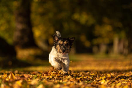 Purebred Jack Russell Terrier. Little cute dog is running in the woods on a path in the autumn leaves Standard-Bild