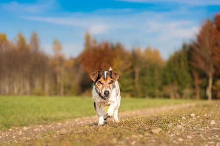 Little Jack Russell Terrier runs joyfully over a road beside the meadow in the autumn season Standard-Bild