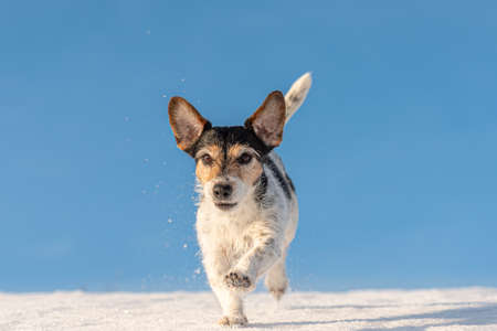 Jack Russell Terrier dog is running in winter over a snowy meadow in front of blue sky