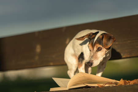Russell Terrier dog reading a book on a bench. Dog is 13 years old. Standard-Bild