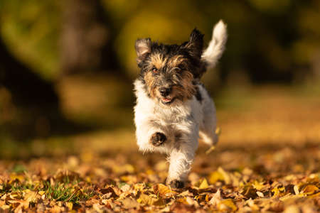 Purebred Jack Russell Terrier. Little cute dog is running in the woods on a path in the autumn leaves Banco de Imagens