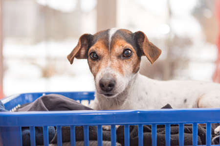 dog lies in a laundry basket with freshly washed folded and ironed laundry indoor. Jack Russell Terrier 10 years old. Hair type smooth Standard-Bild