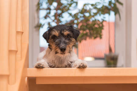 Jack Russell Terrier 2 years old. Little dog on an open staircase