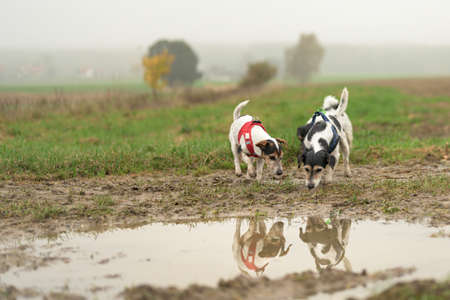 Two cute small Jack Russell Terrier dogs 13 and 10 years old are reflected in a puddle of water. The Hounds snuffle on the grass floor Фото со стока