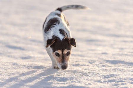 Small cute nine years old frozen Jack Russell Terrier dog is going over a snowy meadow in winter. Standard-Bild