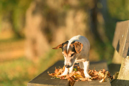 13 years old Jack Russell Terries dog is standing on a park bench in autumn
