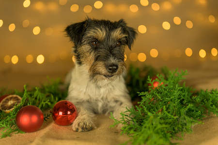little cute Jack Russell Terrier dog lies at Christmas between green branches and Christmas balls.