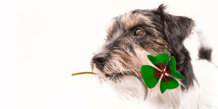 Cute Jack Russell Terrier dog is holding a four-leaf clover lucky charm