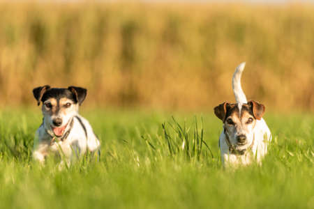 Two little dogs are running across a meadow in the season autumn in soft light