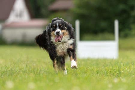 Fast Border Collie dog runs around a pylon