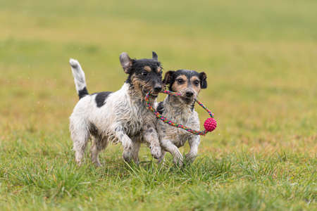 two small cute Jack Russell Terrier dogs are playing and fighting with a ball in a wet meadow snowless winter and have a lot of fun.