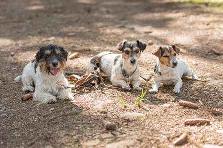Cute small obedient Jack Russell Terrier dogs in the forest on a path Standard-Bild