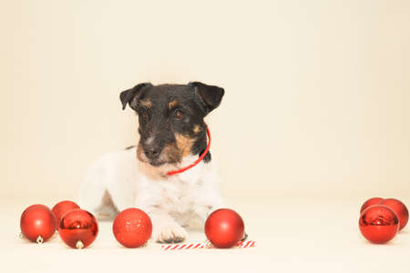 small cute Jack Russell Terrier Christmas dog